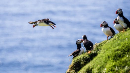 Atlantic Puffins on cliffs, Iceland