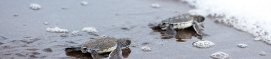 baby turtles at the beach of Tortuguero National Park