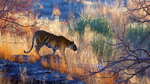 tiger-bandhavgarh-india