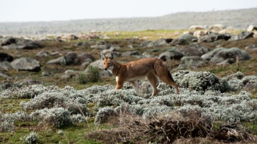 Simien wolf, Ethiopian Highlands