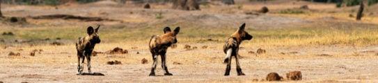 hwange-national-park-wild-dogs-zimbabwe