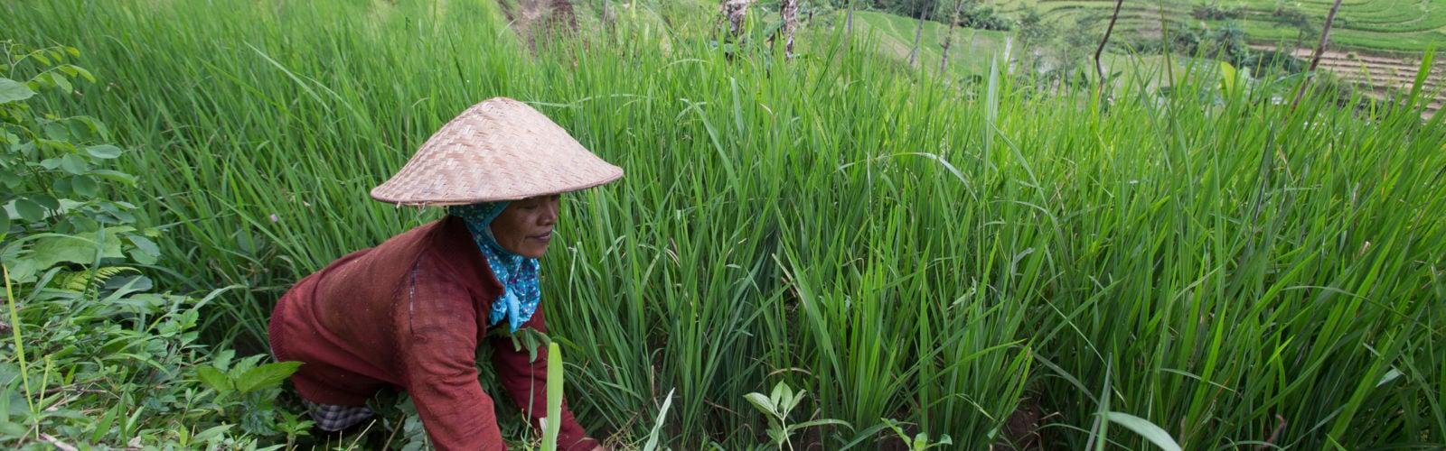 amanjiwo-rice-field-worker