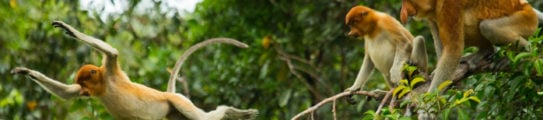 proboscis-monkeys-borneo