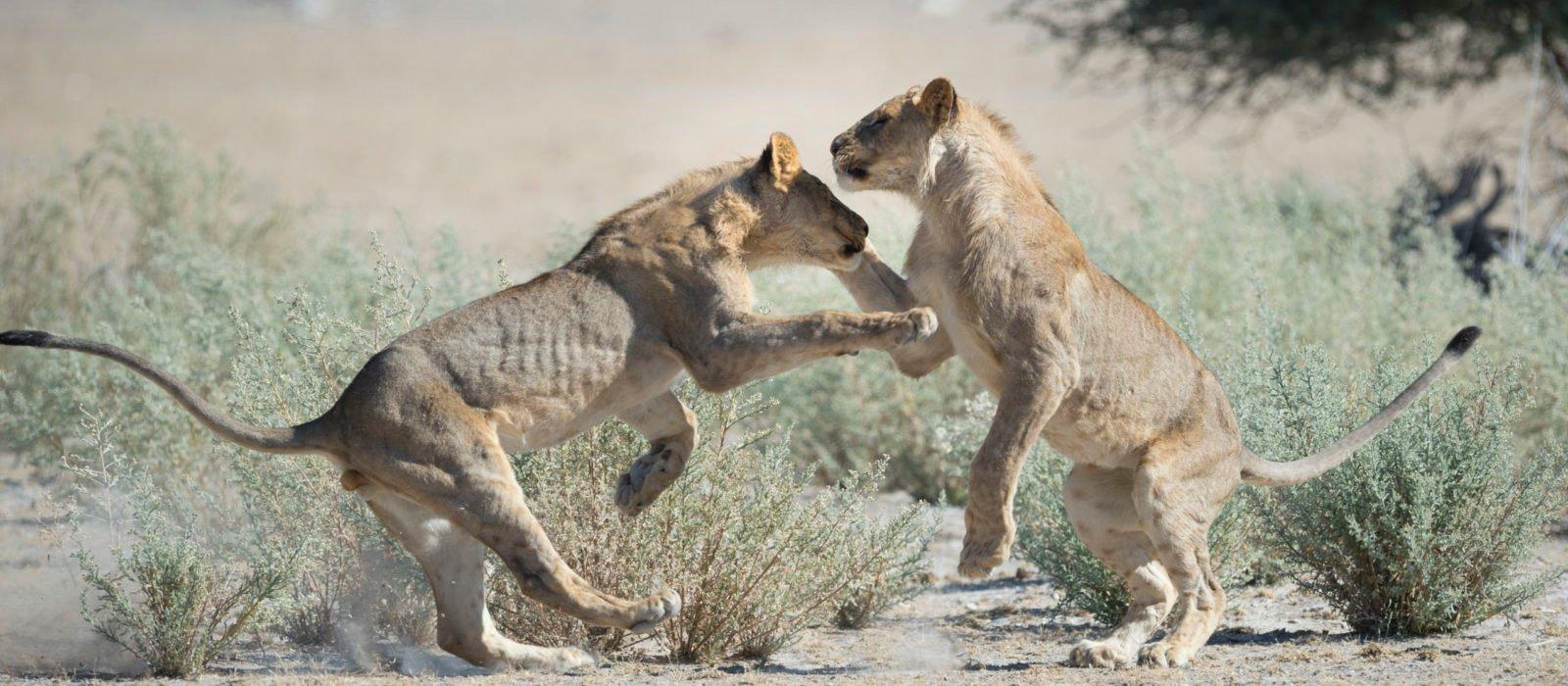 Ongava Reserve Lions
