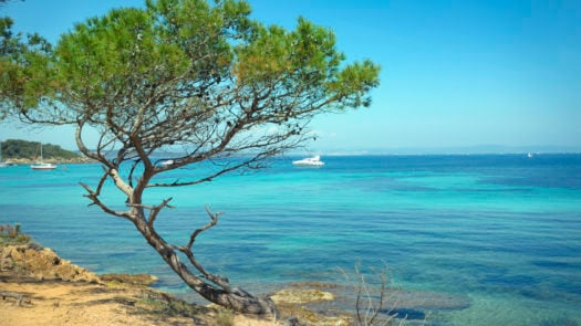 Aleppo Pine (Pinus halepensis). Mediterranean Sea. Porquerolles .French Riviera.