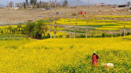 khokana-mustard-field