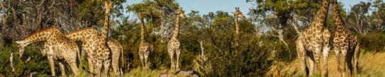 giraffes-botswana-selinda-camp