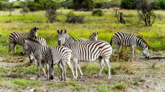 Zebra close view in the Moremi Game Reserve (Okavango River Delta), National Park, Botswana