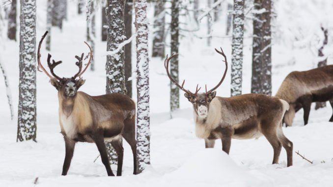 reindeer-swedish-lapland