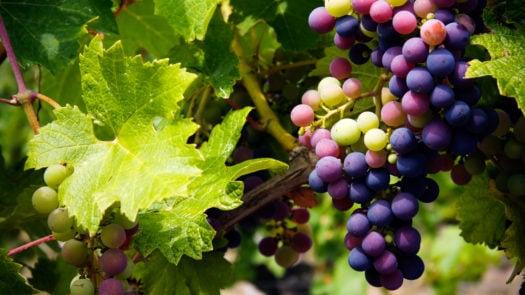 grape-vine-france