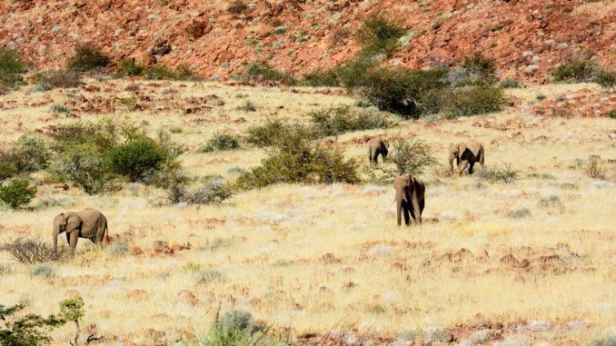 Desert elephants in an African safari landscape