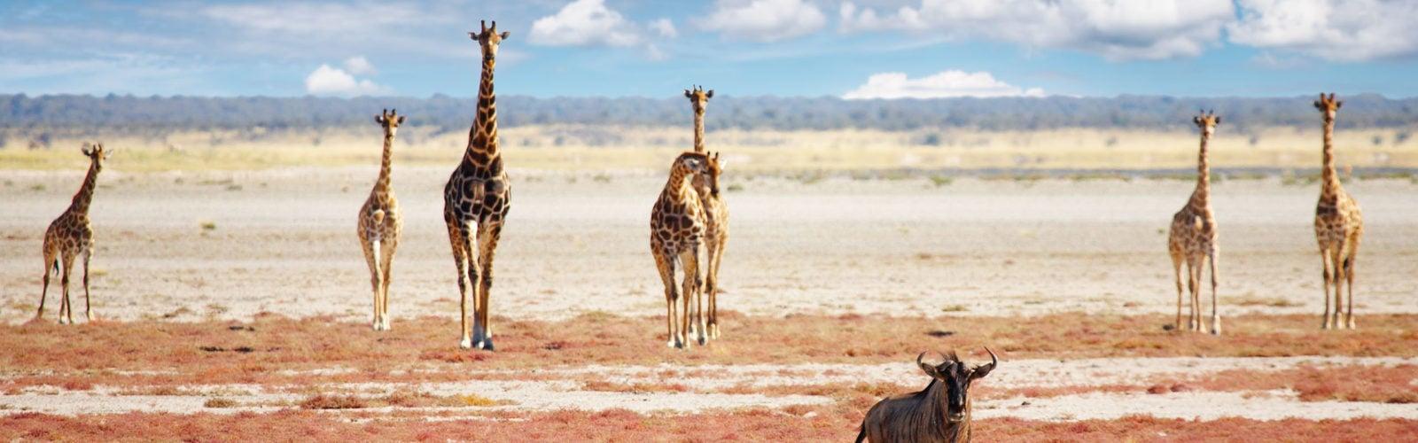 Herd of giraffes in Namibia