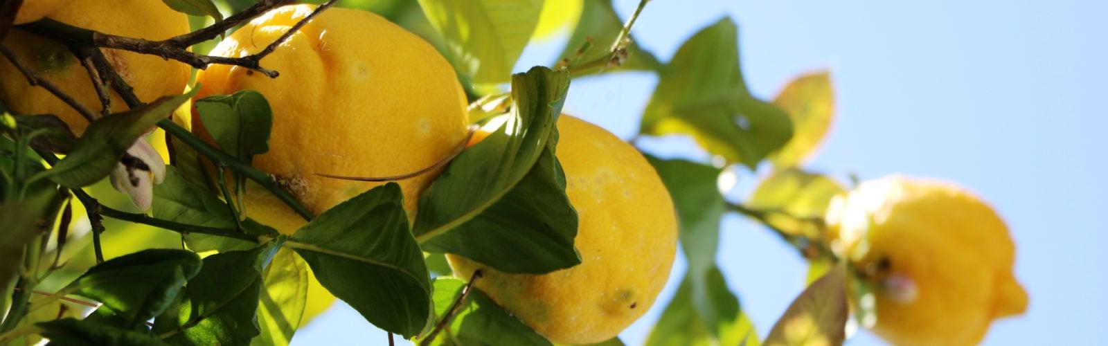 Lemons on a tree, Amalfi Coast, Italy