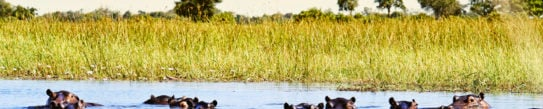 Group of hippos in the water, Okavango Delta,Botswana