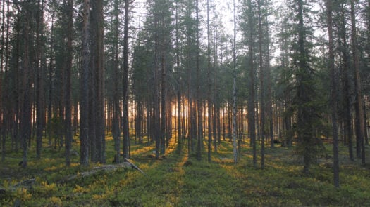 treehotel-forest-swedish-lapland
