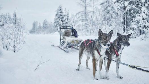dogsledding-treehotel-swedish-lapland
