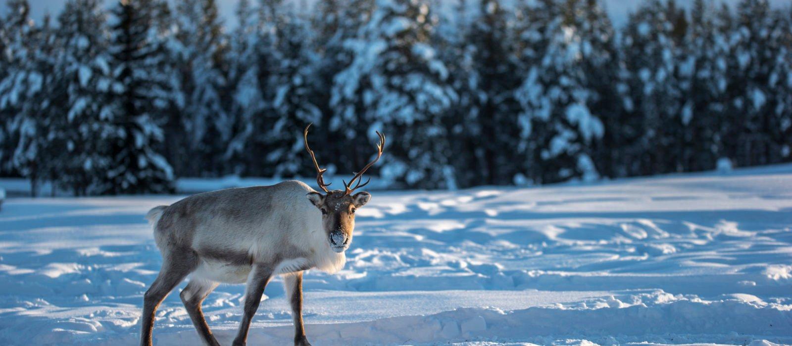 reindeer-swedish-lapland