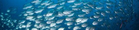 Schooling Fish in Blue Water