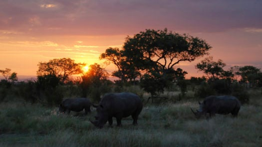 A family of Rhinos in South Africa at sunset