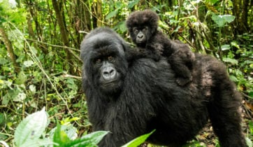 mother-baby-mountain-gorilla-virunga