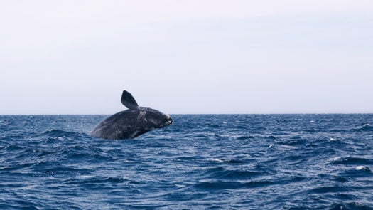 whale-watching-peninsula-valdes-argentina