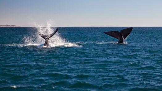 whale-peninsula-valdes-argentina