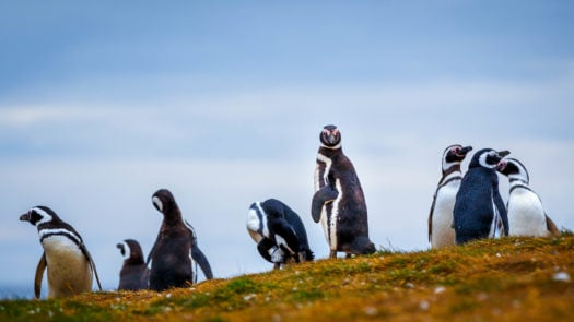 The Magellan penguin community on Isla Magdalena, Punta Arenas where they dig