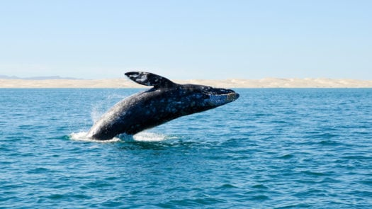 A humpback whale jumping in the ocean in Los Cabos, Mexico