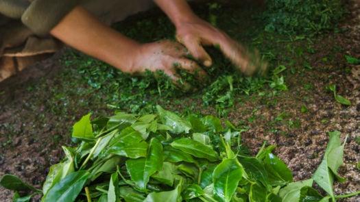 preparing-tea-leaves-peru