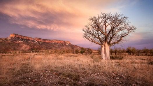 Boab-tree-kimberley-australia