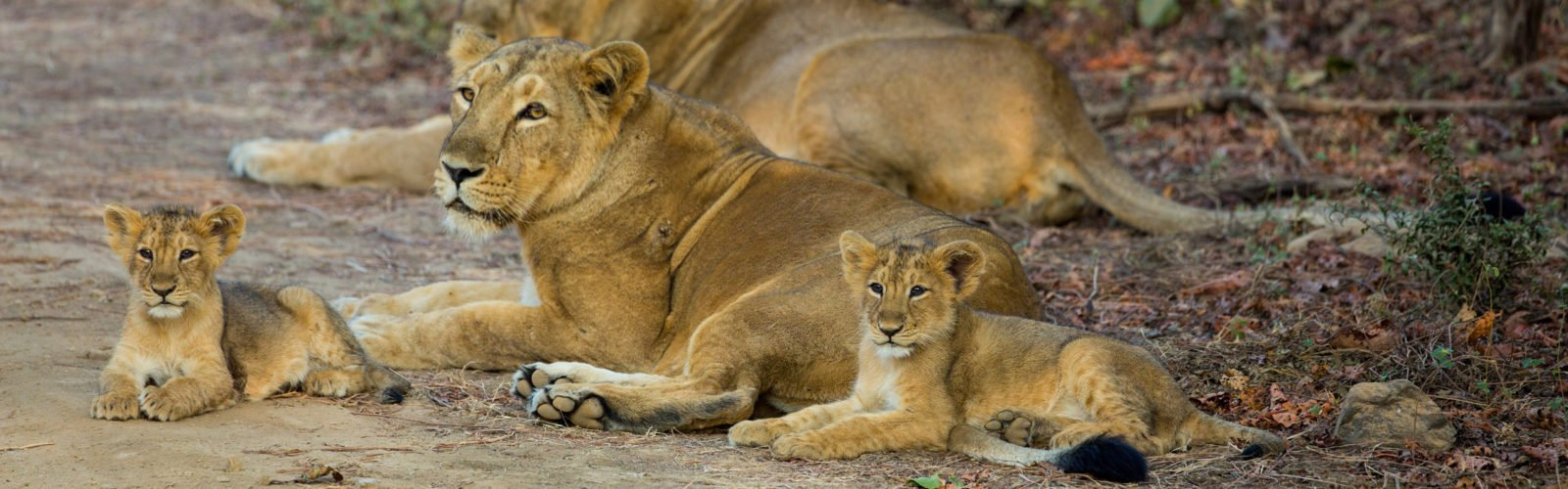 asiatic-lions-gir-forest-national-park-india