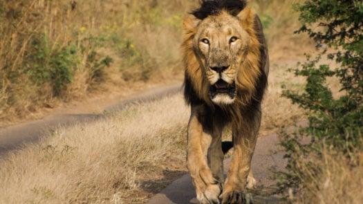 lion-gir-forest-national-park-india