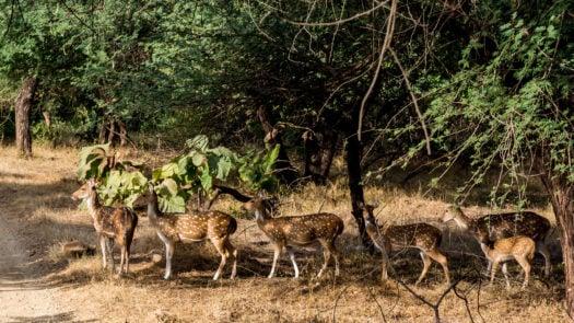 deer-gir-forest-national-park-india