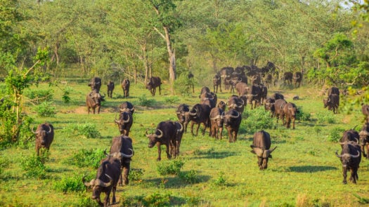 buffalo-herd-kruger-national-park-south-africa