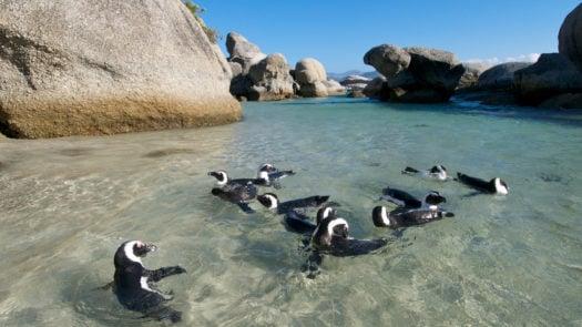 Penguins near the Cape Peninsula, South Africa