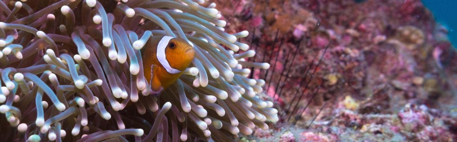 thailand-clown-fish