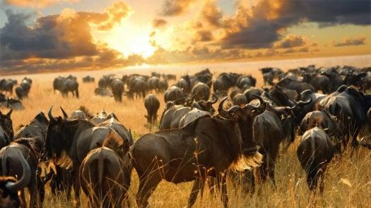 East Africa Wildebeest Migration