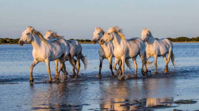 camargue-france-horses