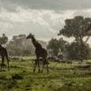 Giraffes at Angama Mara