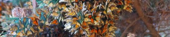 A flock of monarch butterflies