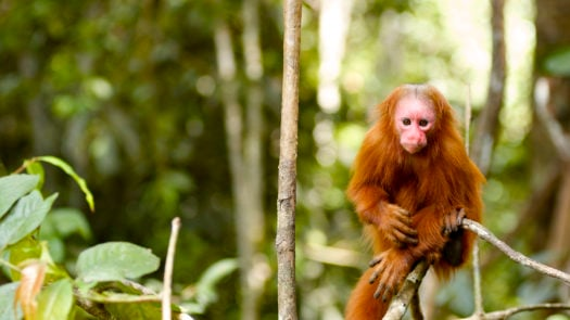 Uakari red-face money in the Amazon