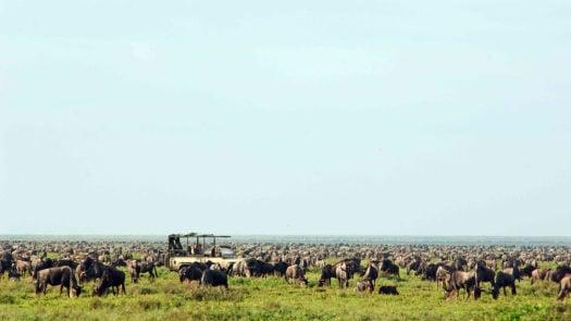 A safari car among a herd of wildebeest in Tanzania