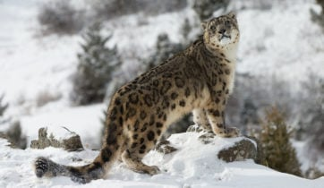 snow-leopard-ladakh-india