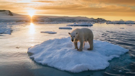 polar-bear-drying-off-greenland