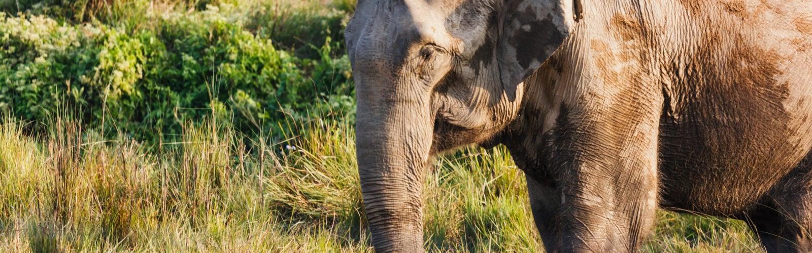 chitwan-elephant