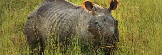chitwan-rhino