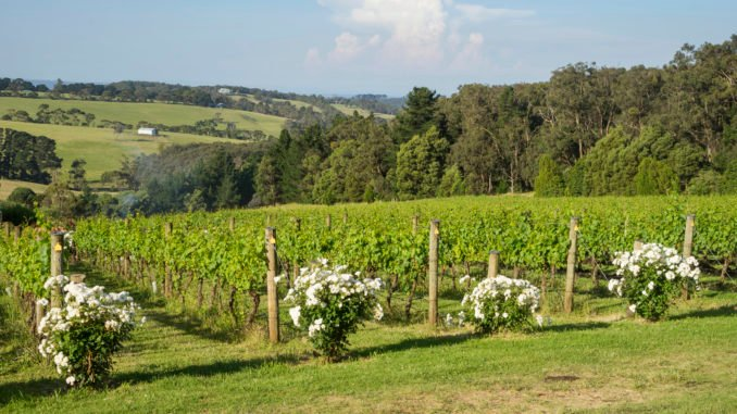 mornington-peninsula-vineyard-victoria-australia