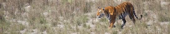 bardia-national-park-nepal-tiger