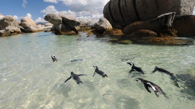Penguins swimming at Boulders Beach.