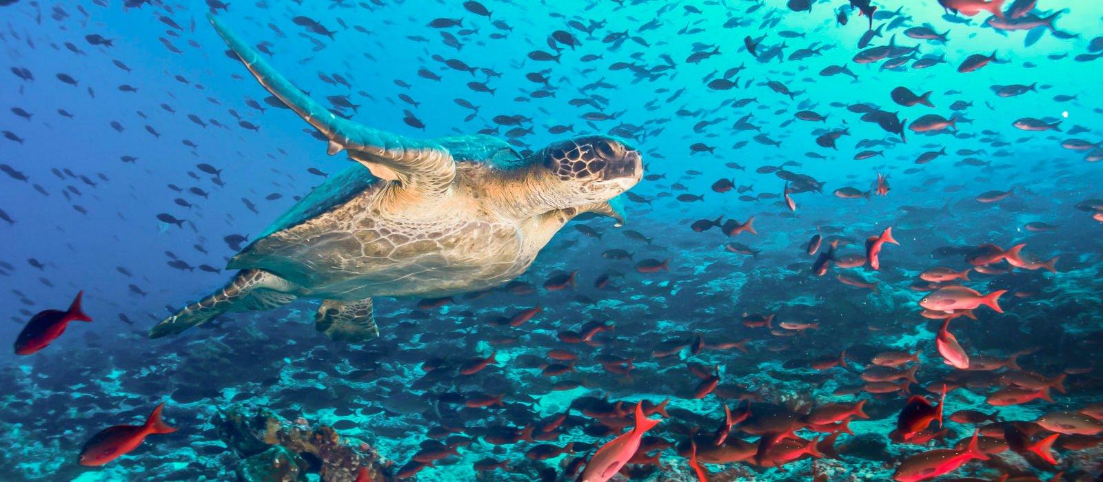 turtle-fish-underwater-galapagos-islands